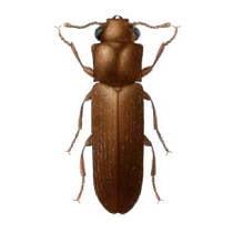 Carcoma Lyctidae