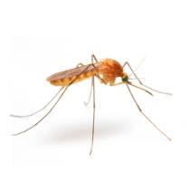 Mosquito género Anopheles