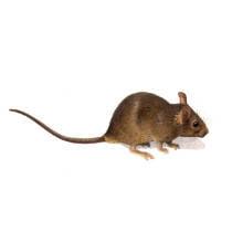 Ratón doméstico
