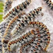 Cucaracha alemana