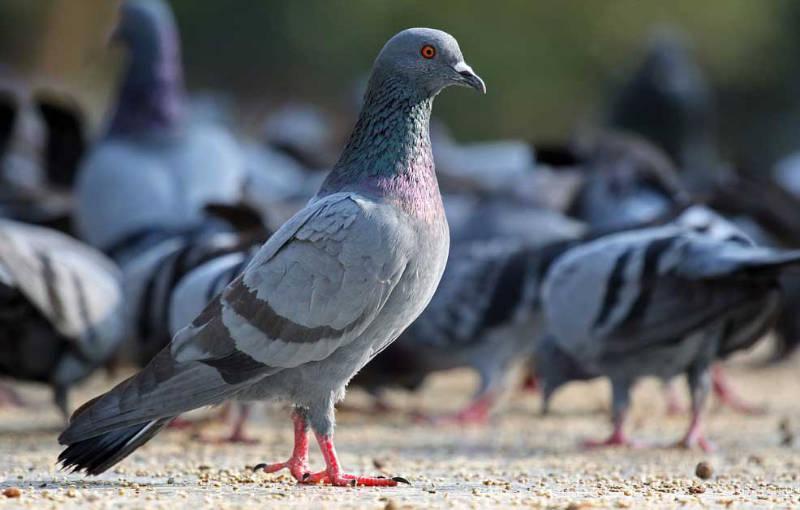 Control de palomas en Zaragoza