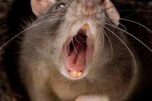 Ruido de ratas y ratones