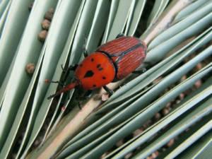 Ejemplar adulto picudo rojo